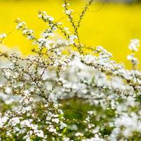 2017 ユキヤナギノ咲く春の頃  《福岡市東区海の中道海浜公園》
