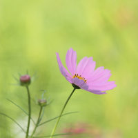 コスモス 『8のつく日はwebにお花を』(27)