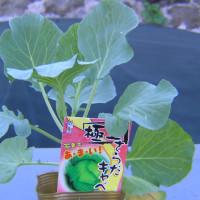 害虫被害を最小限に、栽培中野菜徹底点検