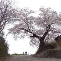 第1048回 北向き観音堂 一本桜 安中市。