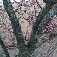 大室山より桜便り