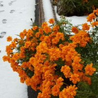 初雪に咲く花たち