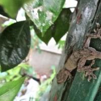ヤモリとカナヘビと白い蛾