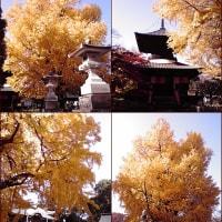 樹齢約650年?鑁阿寺の巨木!大銀杏