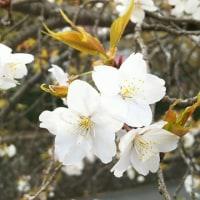 楽翁桜開花状況 4月21日~満開~