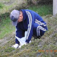 芝桜の施肥作業に参加した。