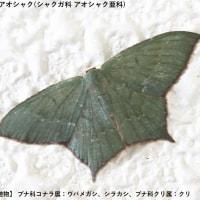 シバハギ(花)、ヒメツバメアオシャク(蛾)、オオマエキトビエダシャク(蛾)