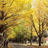 北海道大学・・銀杏並木