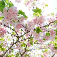 八重桜 アーディ君