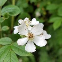 ノイバラの花 5.24
