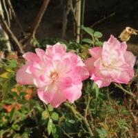 真冬に咲くバラです