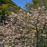 五ケ所川の桜 (南伊勢町)