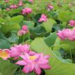 立田村の蓮の花