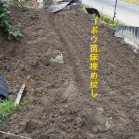 ゴボウ苗床作り№3