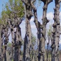 さつき前のハサ木並木