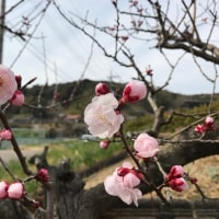 杏子の花、日々増えて
