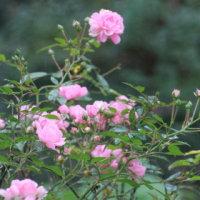☆まだ咲く庭バラ