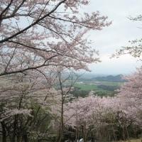 2017年桜特集