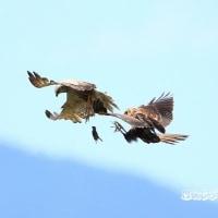 チュウヒの迫力ある空中餌渡し・・・!