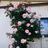 ふと誰か呼んだ気がして薔薇の花