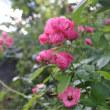 盛夏の庭    黒カノコ百合と黄花コスモスの競演