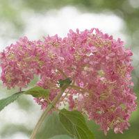 紫陽花の季節(Ⅳ)