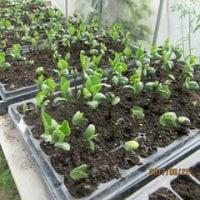 黒枝豆の定植