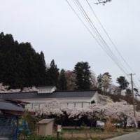 ふきのとう  4/19