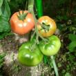 ミニトマトの可愛いポイント( *^艸^)