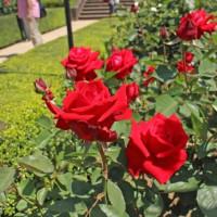「旧古河庭園の薔薇」