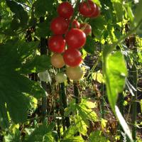 畑、夏の日の残照・トマト