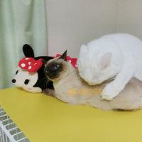 【動画】先輩猫に容赦ない後輩猫