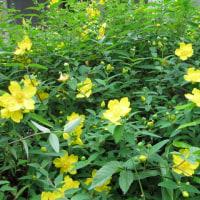 梅雨の花「紫陽花」そして何の花?