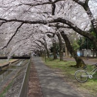 善福寺川の桜