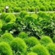 緑のコキア生育中