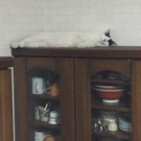 くーさん、食器棚の上でねむる
