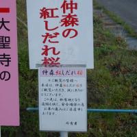 福島県田村市、中森の紅しだれ桜です!!