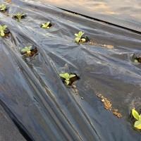 補植と葉かき・ストック植え