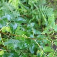 若齢幼虫と終齢幼虫が一緒に  クロアゲハ