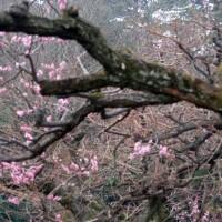 名古屋城の梅(紅梅)