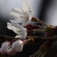 咲いた、咲いた、桜が咲いた・・