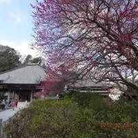 久しぶりのハイキング&河津桜