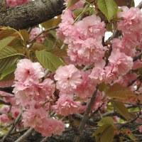 柏の葉公園周辺の野鳥_オオバン(大鷭) プラス柏の葉公園のサクラ・・・カンザン(関山)