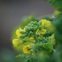菜の花たちの 遊び場