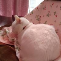 桜色にそまる白ネコ