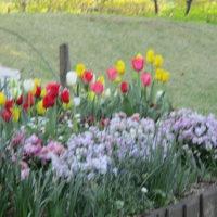 春です。チューリップなど。