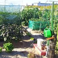 いい爺の菜園日記 2017年6月14日(水)