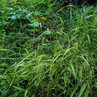 タツノヒゲ(竜の鬚)イネ科 タツノヒゲ属