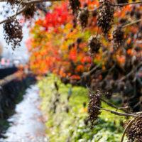 2016 柳坂曽根のハゼ並木   2 (耳納連山の麓に色とりどりの葉色が)《久留米市山本町豊田》