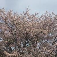 はらはらと舞う・・・ 春の風 と 桜の花びら